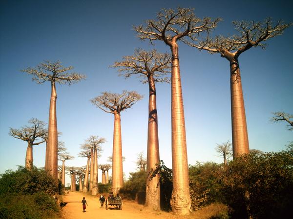 Madagascar Boabab Trees